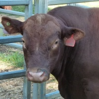 Bull For Sale Image