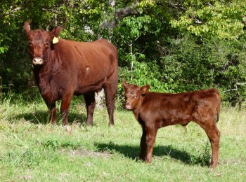 Red Angus Steer
