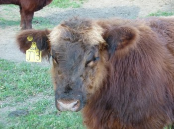 Red Angus Cattle for Sale