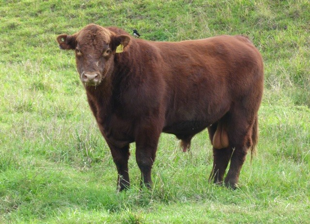 red angus cattle for sale nsw qld Australia