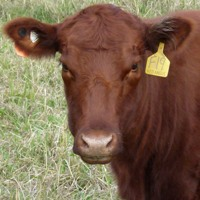 red angus heifers for sale nsw qld